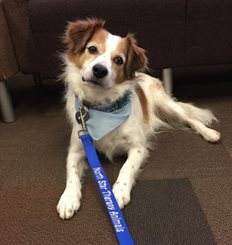 Picture of a brown and white dog with a blue leash that says North Star Therapy Animals/